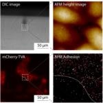 Measuring Cell Interactions with AFM