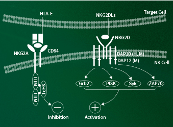 NKG2 ligands for immune checkpoint modulator research