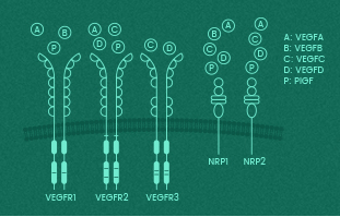 VEGFs and VEGF receptors: Key mediators in body systems