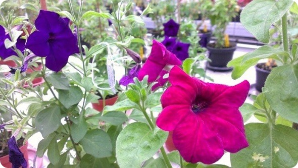 1Public outreach with the color-changing Petunia