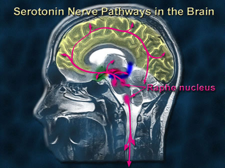 Serotonin nerve pathways in the brain
