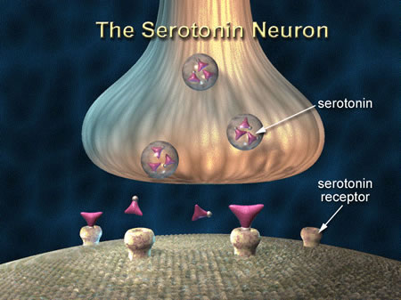 The Serotonin Neuron