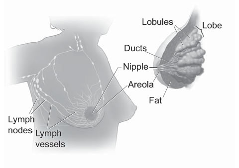 This picture shows the lobes and ducts inside the breast. It also shows the lymph nodes near the breast.