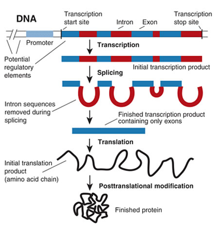 genetic coding expression transcription and translation essay