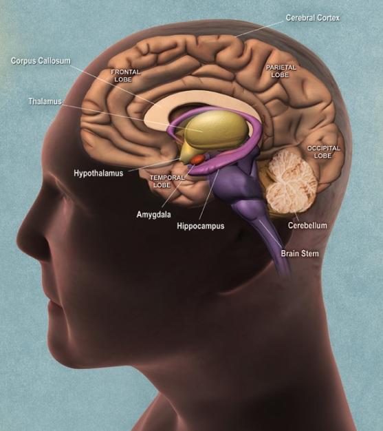 almond diagram  what is the hypothalamus