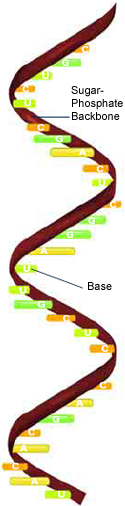 Ribonucleic acid (RNA) has the bases adenine (A), cytosine (C), guanine (G), and uracil (U).
