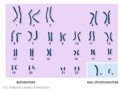 The 22 autosomes are numbered by size. The other two chromosomes, X and Y, are the sex chromosomes. This picture of the human chromosomes lined up in pairs is called a karyotype. Image Credit: U.S. National Library of Medicine