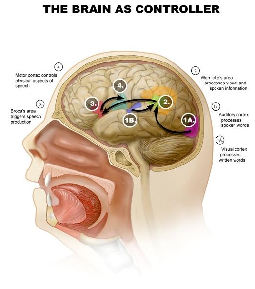 "Cerebro actúa como ""comando central"" para la lengua"