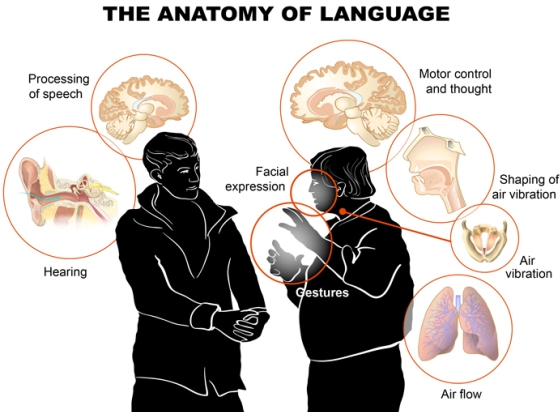 La anatomía de la Lengua