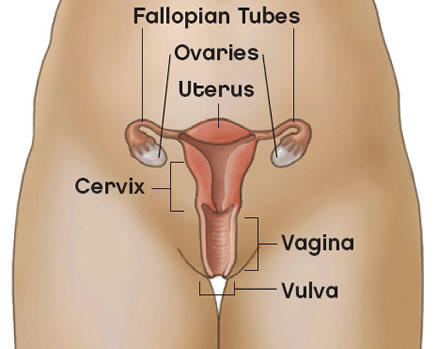 Anatomical structures of the vulva