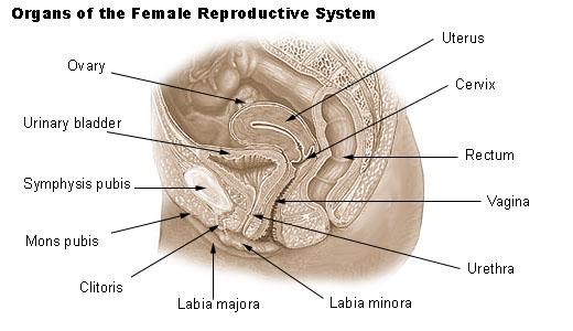 Estructuras de la vulva
