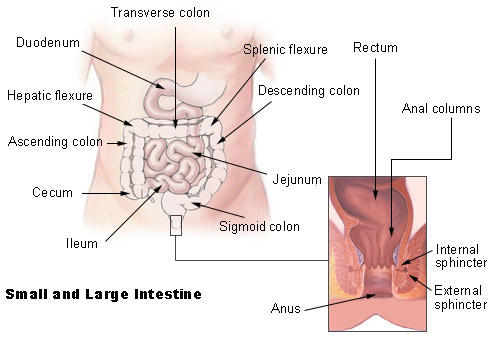 The Large Intestine Human