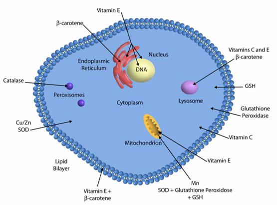 antioxidant efficacy of vitamin c.glutathione.selenium에 대한 이미지 검색결과