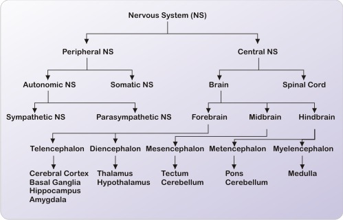 what is the nervous system?, Cephalic Vein