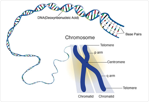 two functions of sex chromosomes pic in Salisbury