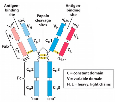 the structure and function of antibodies The research group structure & function of antibodies investigates the development of antibody responses in health and disease, unrelated to infection.