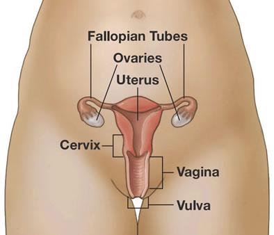 What Does the Uterus Do?