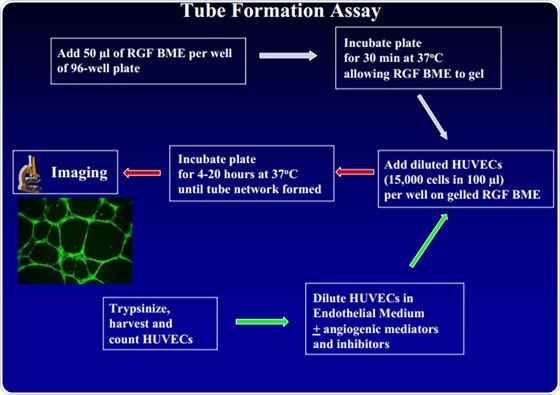 Tube Formation Assays