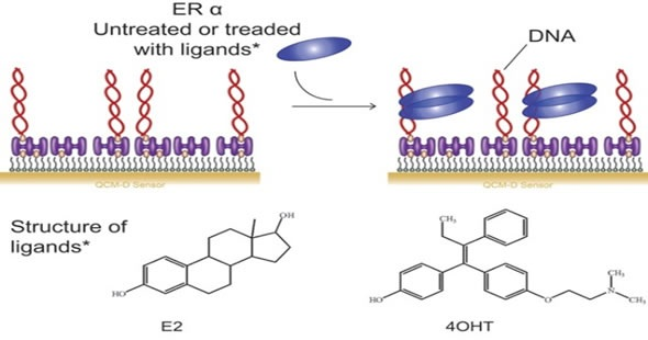 estrogen receptor binding assay 1 anticancer res 1995 mar-apr15(2):649-54 estrogen receptor determination in endometrial carcinoma: ligand binding assay versus enzyme immunoassay.