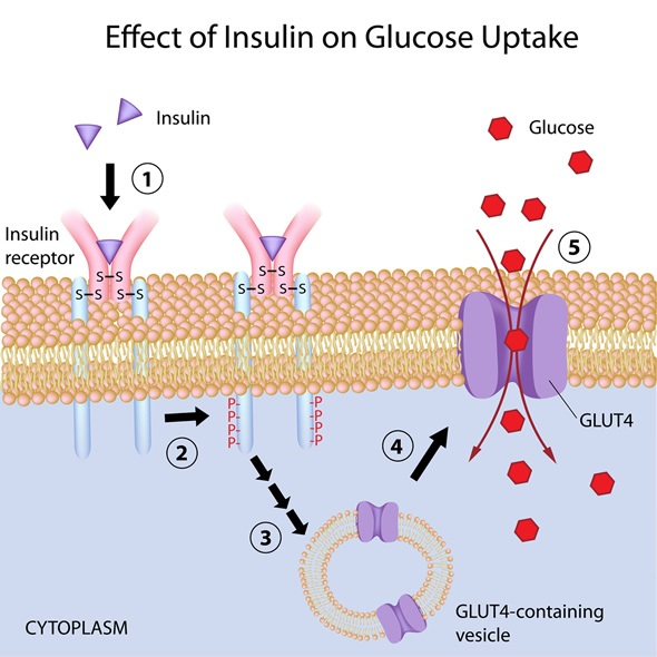 Insulins Role In The Human Body