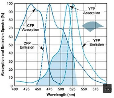 Absorption and emission spectral profiles of the CFP-YFP FRET pair.