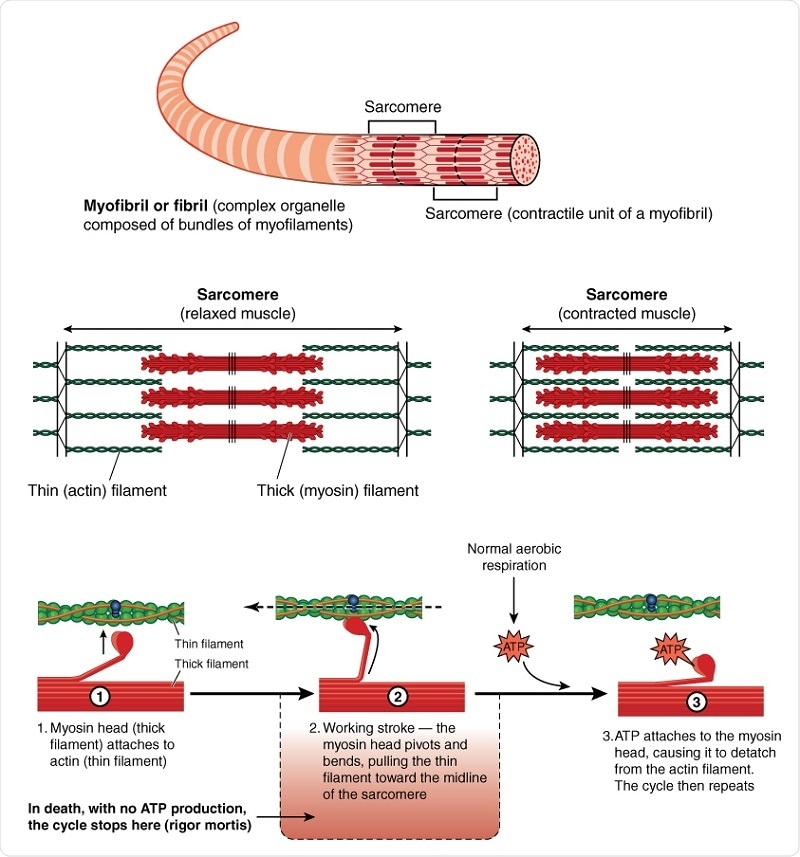 Función del trifosfato (ATP) de adenosina en células