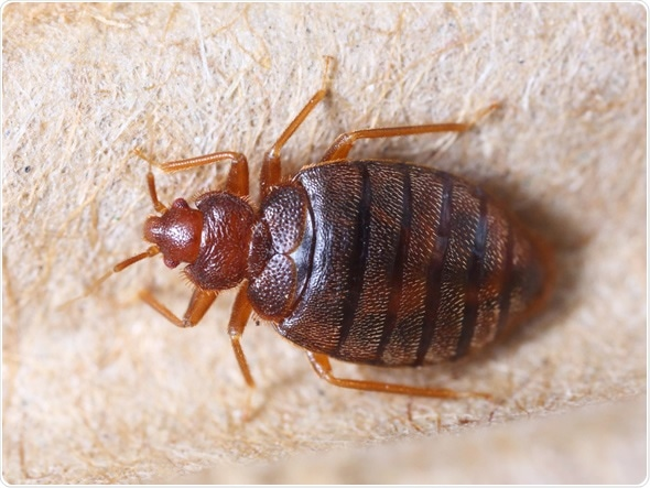 Close up cimex hemipterus on corrugated recycled paper, bedbug, blood sucker - Image Copyright: Smith1972 / Shutterstock