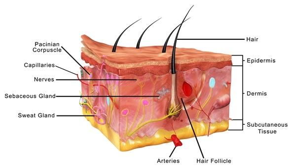 Anatomy of epidermis