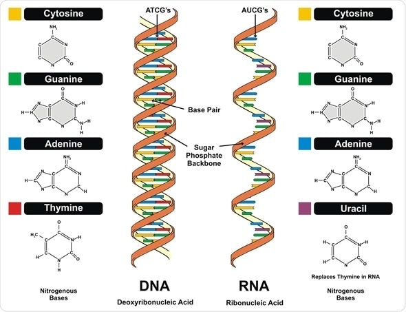 DNA and RNA structure