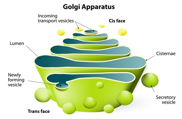 Golgi apparatus. Golgi Complex plays an important role in the modification and transport of proteins within the cell. Image Copyright: Designua / Shutterstock