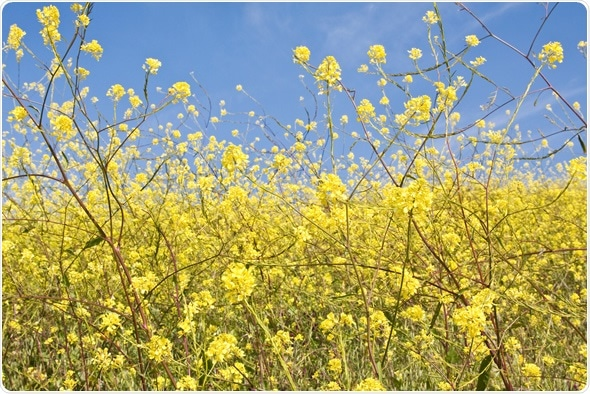 Wild mustard plants growing in central California - Image Copyright: David M. Schrader / Shutterstock