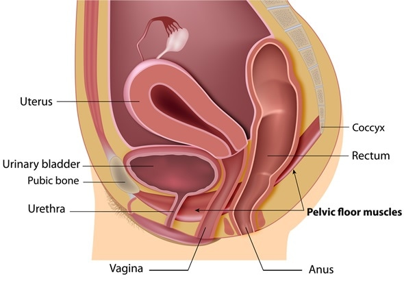 Female pelvic floor labeled - Image Copyright: Alila Medical Media / Shutterstock