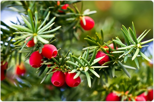 Yew tree with red fruits - Image Copyright: Kefca / Shutterstock