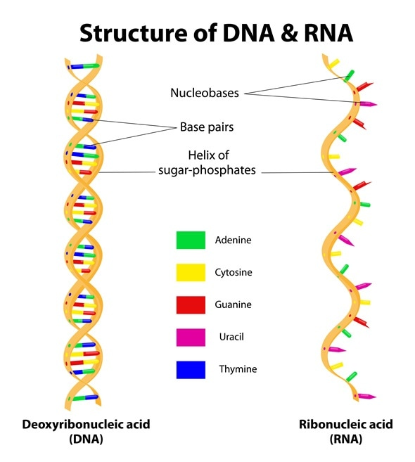 Types of RNA: mRNA, rRNA and tRNA