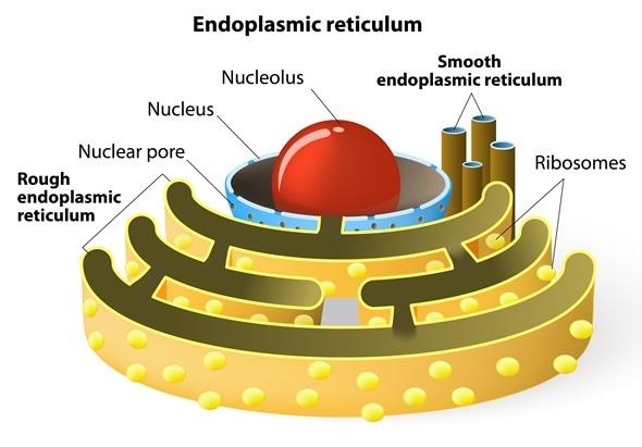 The Endoplasmic Reticulum And Golgi Body  What U2019s The