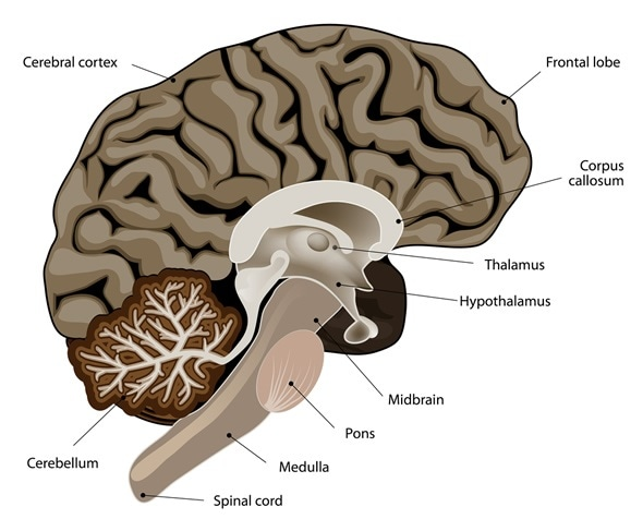 Sexual activity cerebral cortex