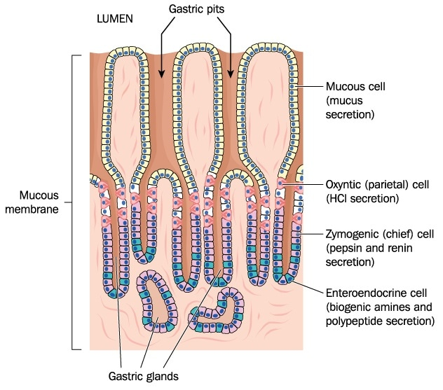 What Are Enteroendocrine Cells