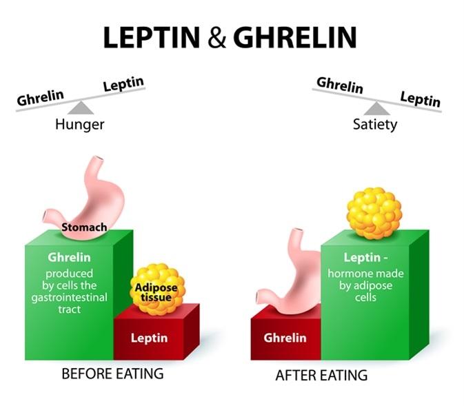 Αποτέλεσμα εικόνας για leptin ghrelin