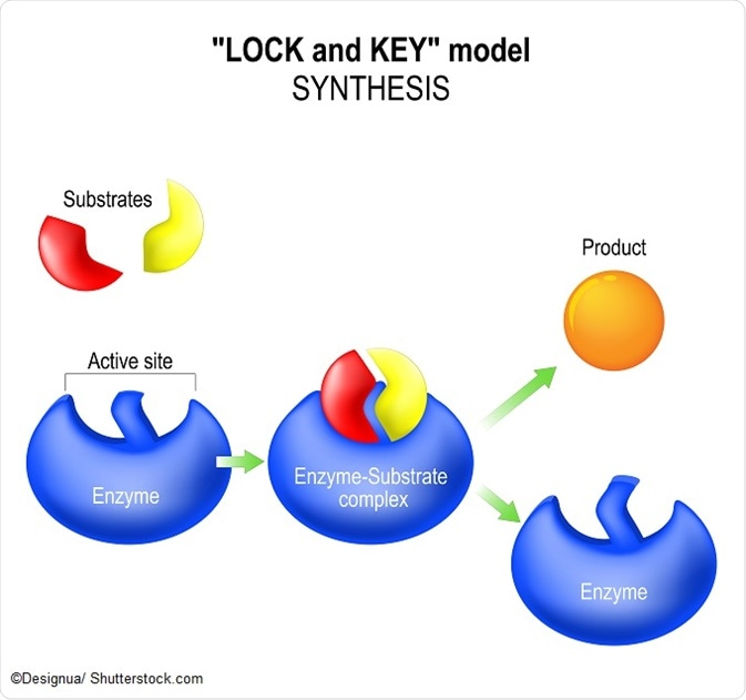 enzymes are catalysts because they operate to