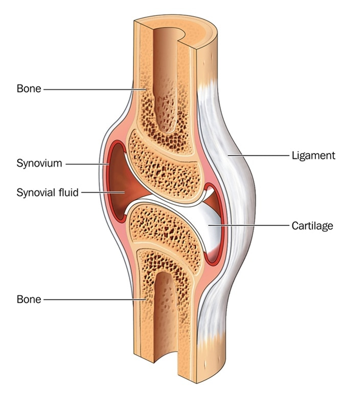 what is cartilage?