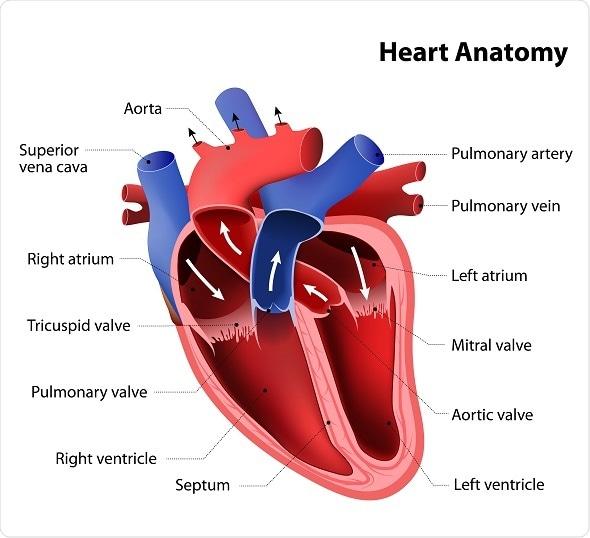 Cardiac anatomy pictures