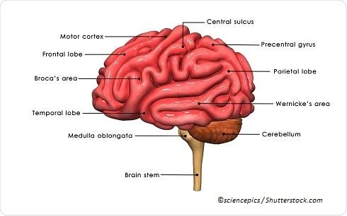 Labelled human brain