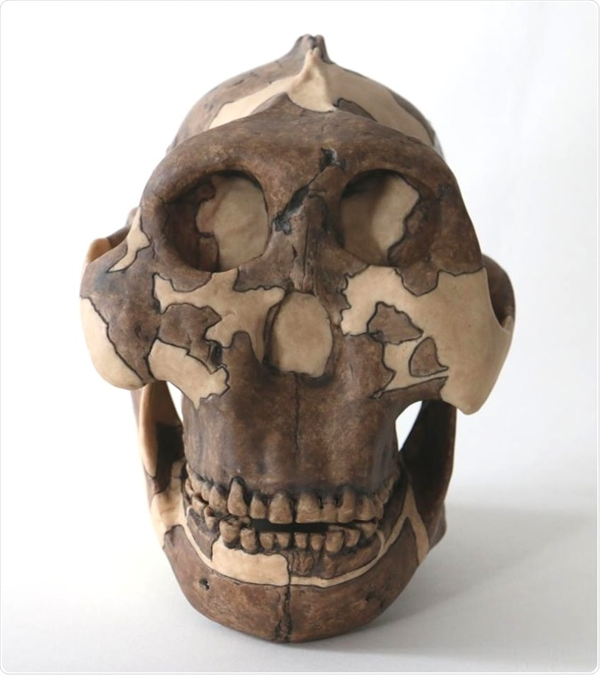 Cast of a P. boisei skull, used for teaching at Cambridge University. Image Credit: Louise Walsh