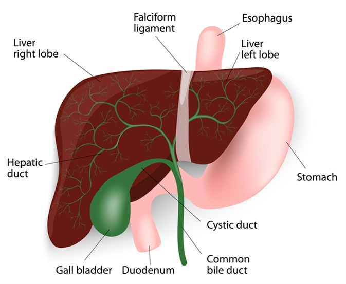 Anatomy of bile ducts and liver