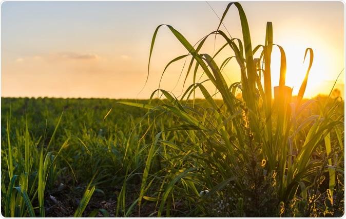 Sugar cane field. Image Credit: TB studio / Shutterstock