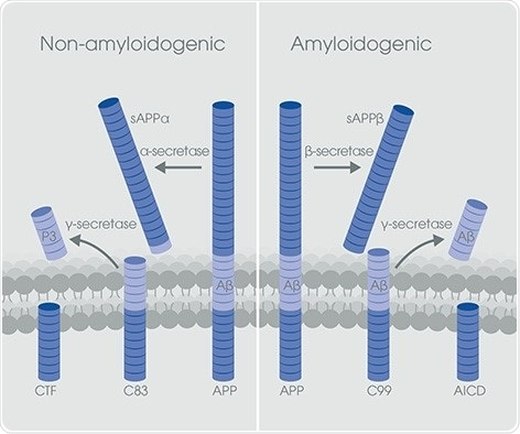 The non-amyloidogenic and amyloidogenic pathways of APP processing.