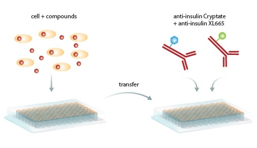 Homogeneous HTRF Assay procedure. Secreted insulin in cells or supernatant is transferred to a new microplate, antibodies are added, incubated and read by the PHERAstar FS microplate reader.