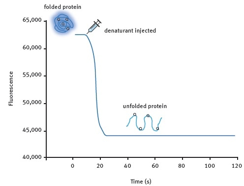 Kinetic protein unfolding assay principle. The folded form of the protein exhibits relatively high intrinsic Trp fluorescence. Injection of a denaturing solution leads to protein unfolding and a decrease in fluorescence that can be monitored in real-time for many proteins.