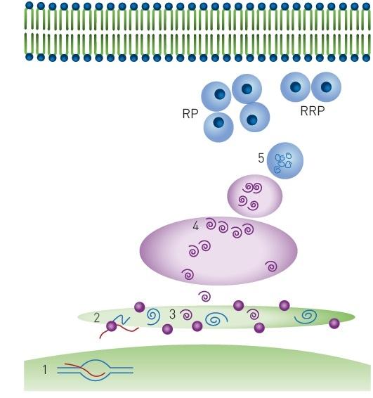 Monitoring Insulin Granule Packaging In Live Cells