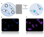 Determination of Concentration and Viability of Stem Cells Grown on Microcarriers